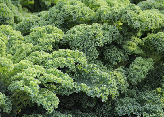 Curly Kale growing in the UK
